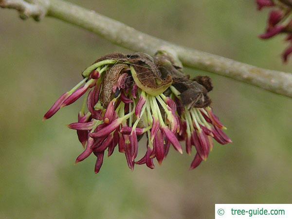 persian ironwood (Parrotia persica) blossom