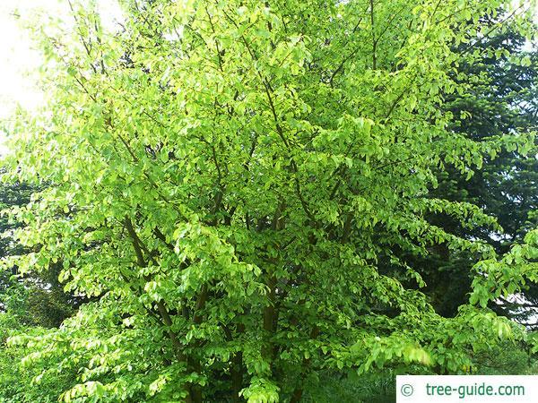 persian ironwood (Parrotia persica) treetop in summer