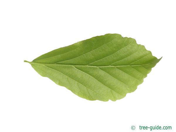 persian ironwood (Parrotia persica) leaf underside