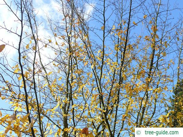 persian ironwood (Parrotia persica) treetop in winter