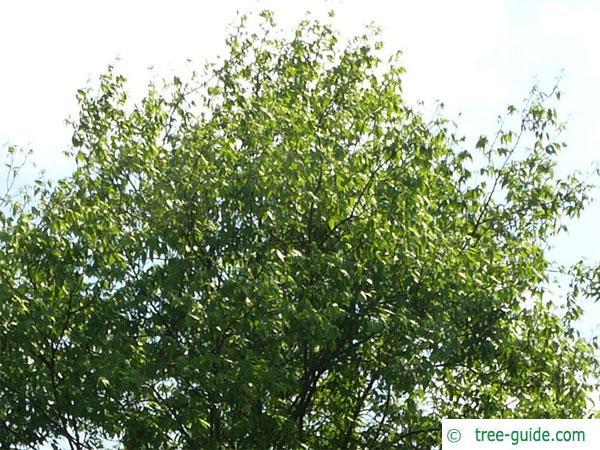 pignut (Carya glabra) crown