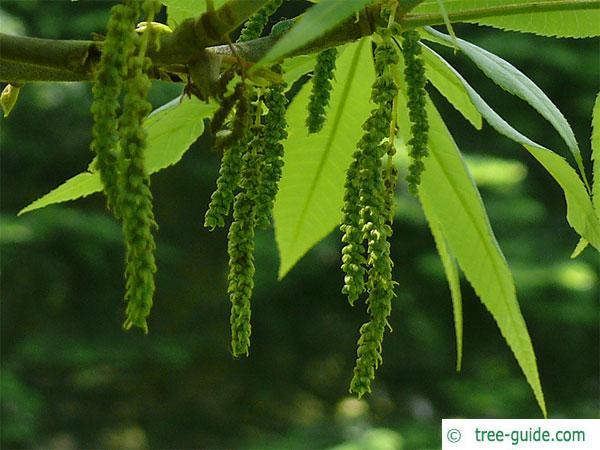 pignut (Carya glabra) flowers