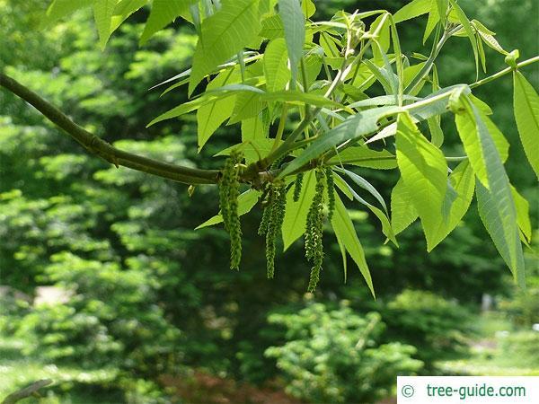 pignut (Carya glabra) sprouting