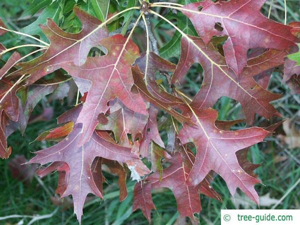 pin oak (Quercus palustis) leave color in autumn