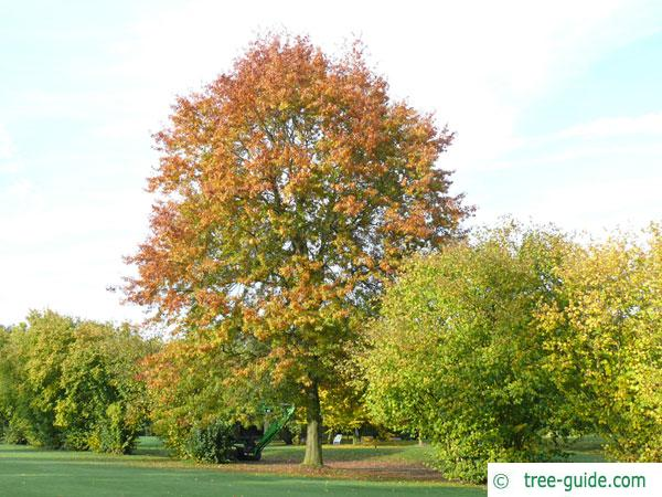 pin oak (Quercus palustis) tree in autumn