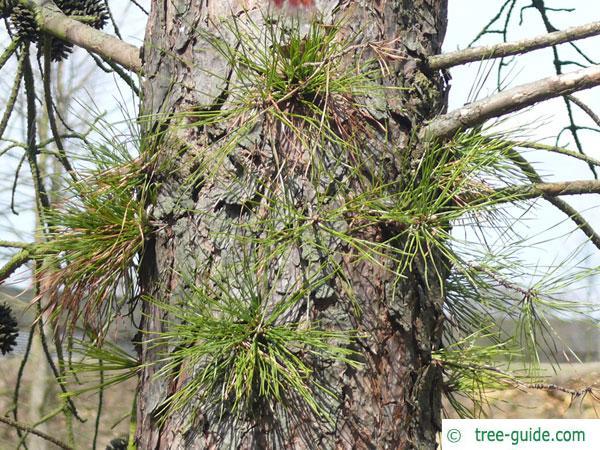 pitch pine (Pinus rigida) trunk/ bark