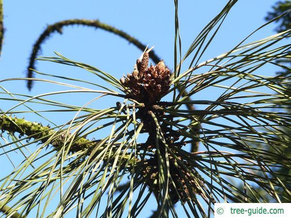 ponderosa pine (Pinus ponderosa) branch tip