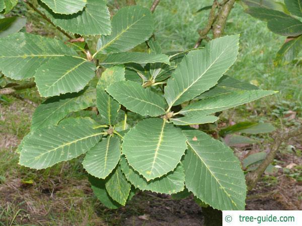pontine oak (Quercus pontica) leaves