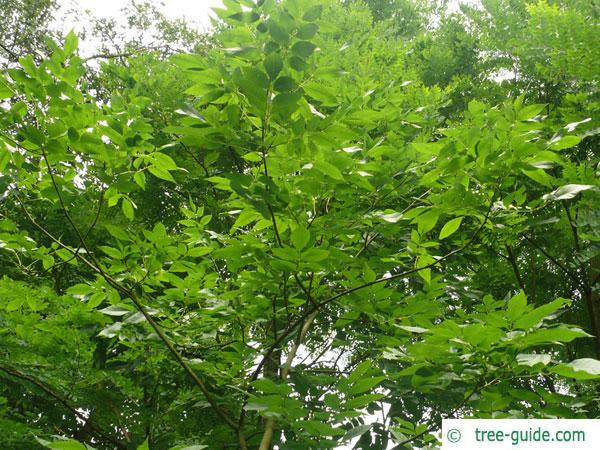 pumpkin ash (Fraxinus profunda) crown in summer
