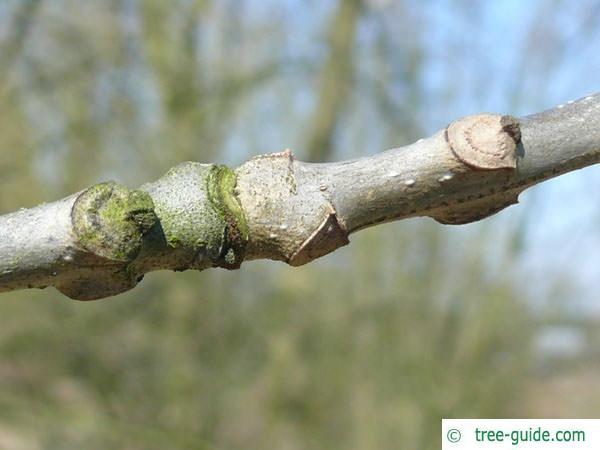 pumpkin ash (Fraxinus profunda) branch with leaf scars