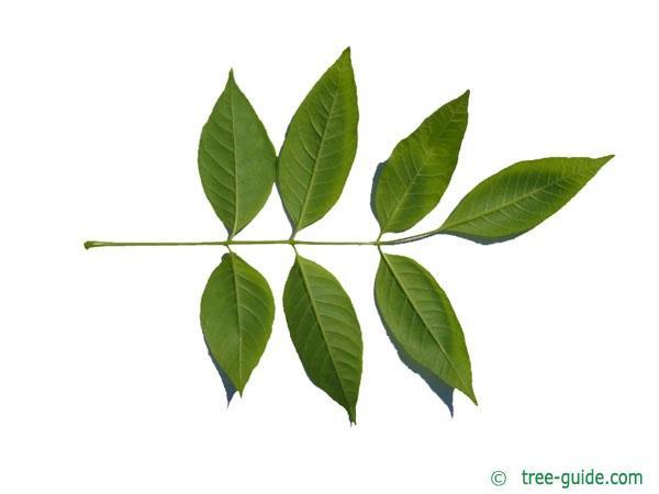 pumpkin ash (Fraxinus texensis) (Fraxinus profunda) leaf underside