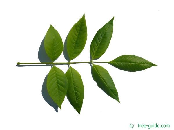 pumpkin ash (Fraxinus texensis) (Fraxinus profunda) leaf