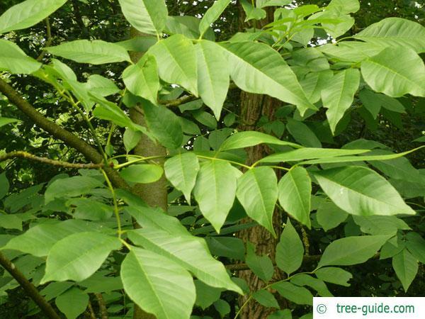 pumpkin ash (Fraxinus profunda) leaves in summer
