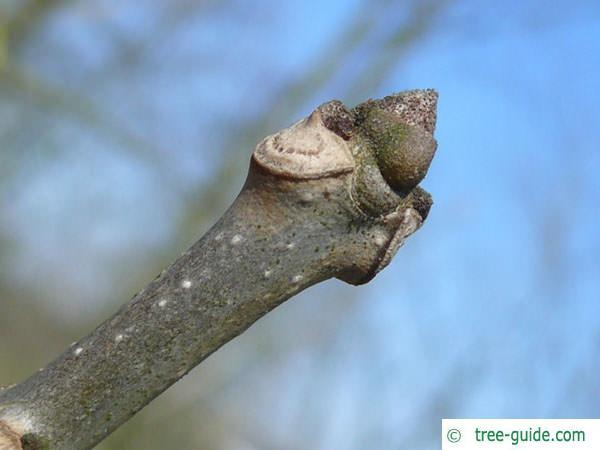 pumpkin ash (Fraxinus profunda) terminal bud