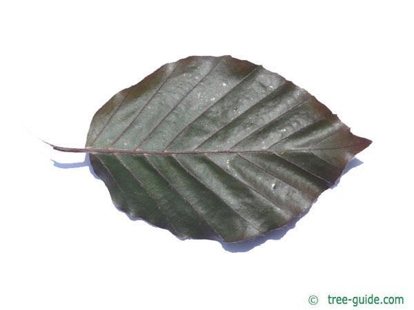 purple fastigiate beech (Fagus sylvatica 'Dawyck Purple') leaf underside