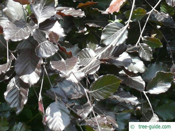 purple fastigiate beech (Fagus sylvatica 'Dawyck Purple') leaves