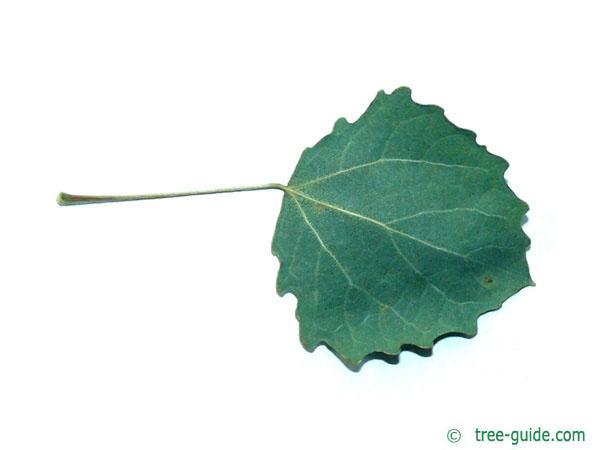 quaking aspen (Populus tremula) leaf underside