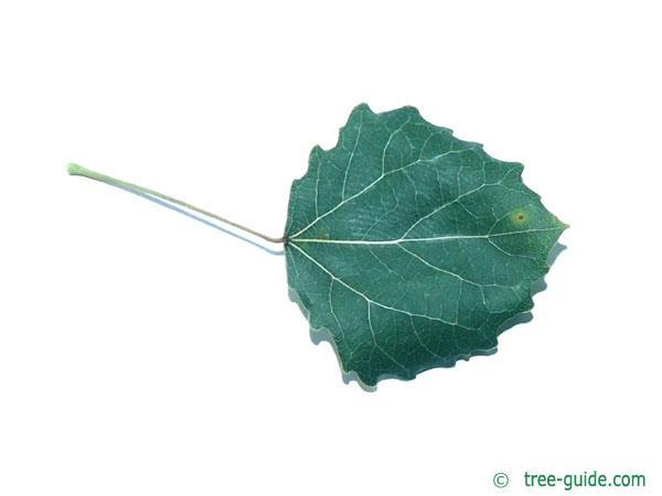 quaking aspen (Populus tremula) leaf