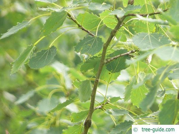 quaking aspen (Populus tremula) leaves