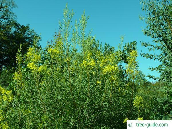 quorn wattle (Acacia quornensis) blossom crown