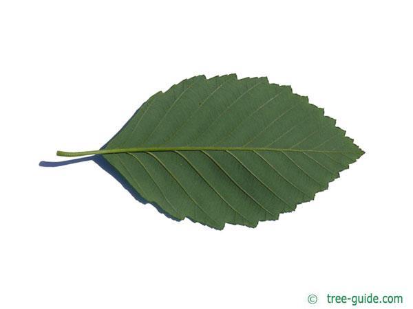 red alder (Alnus rubra) leaf underside