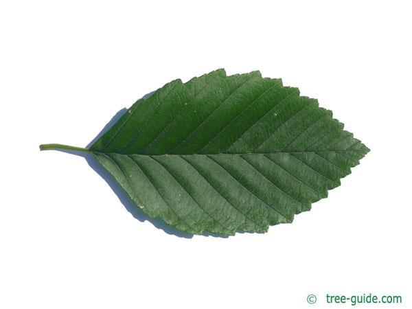red alder (Alnus rubra) leaf