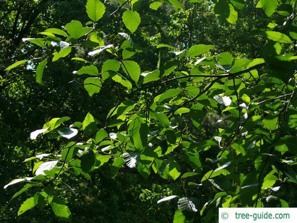 red alder (Alnus rubra) leaves