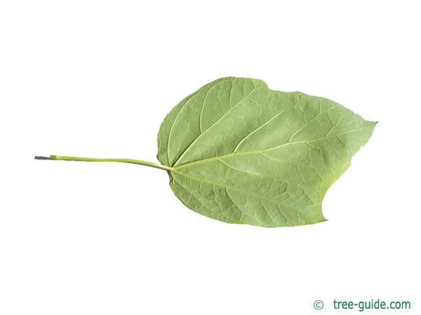 red-leaves catalpa (Catalpa erubescens 'Purpurea') leaf underside