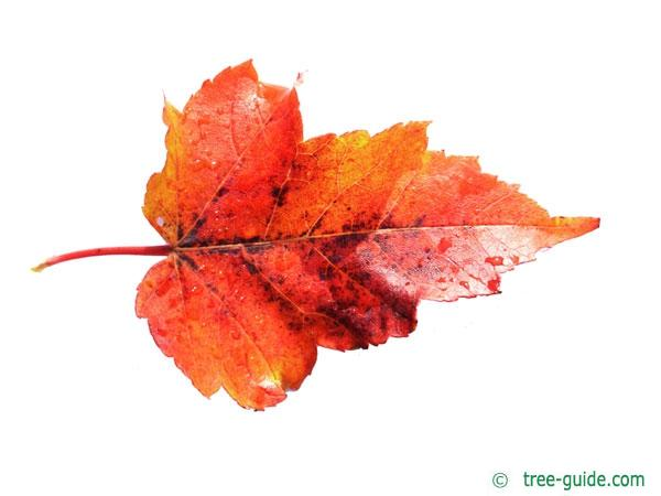 red maple (Acer rubrum) leaf in autumn