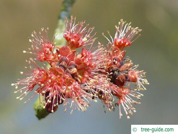 red maple (Acer rubrum) red flowers