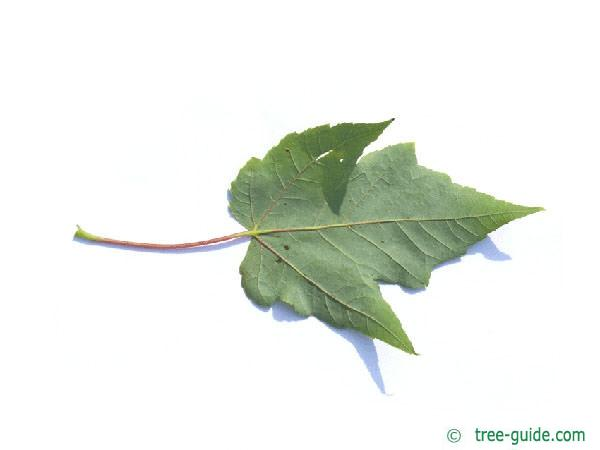 red maple (Acer rubrum) leaf underside