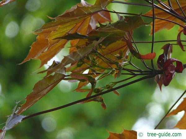 red norway maple (Acer platanoides 'Faassen's Black') fruit
