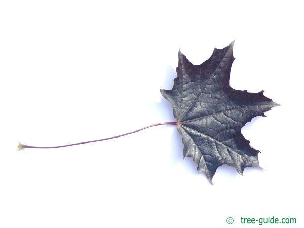 red norway maple (Acer platanoides 'Faassen's Black') leaf