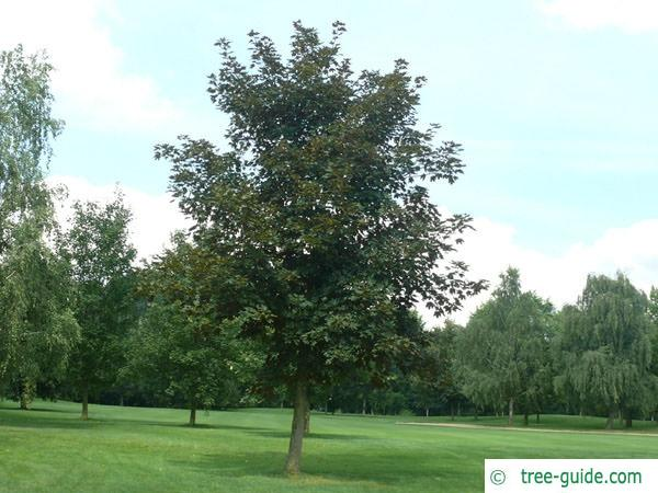 red norway maple (Acer platanoides 'Faassen's Black') tree