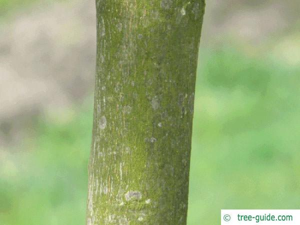 red norway maple (Acer platanoides 'Faassen's Black') trunk