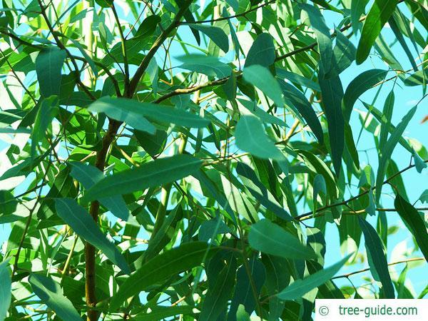 red river gum (Eucalyptus camaldulensis) leaves