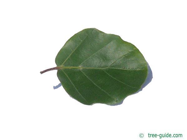 round-leaved beech (Fagus sylvatica 'Rotundifolia') leaf underside