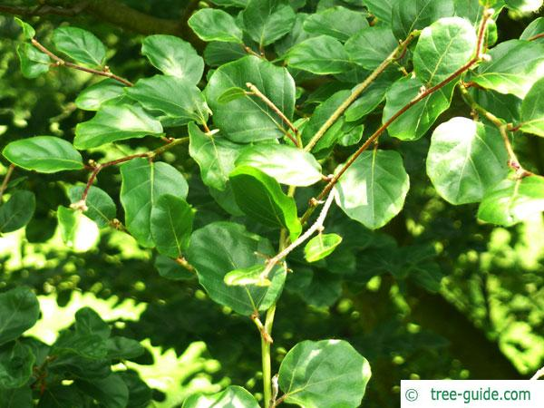 round-leaved beech (Fagus sylvatica 'Rotundifolia') leaves