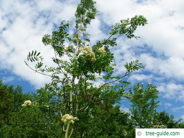 european Mountain ash (Sorbus aucuparia) flower