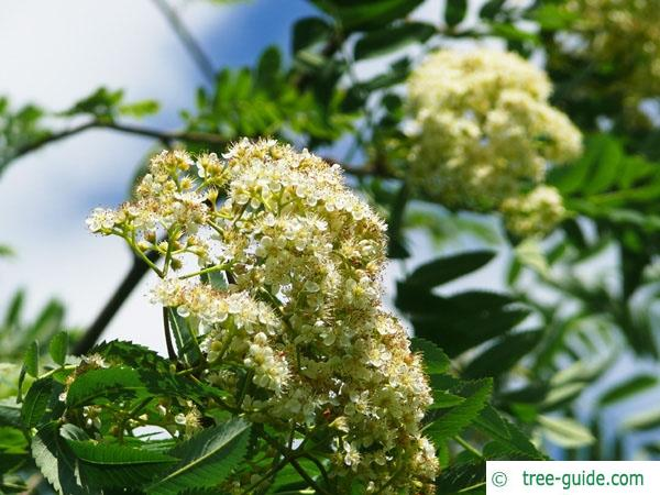 european Mountain ash (Sorbus aucuparia) flowers