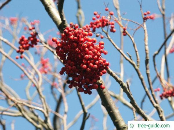 european Mountain ash (Sorbus aucuparia) fruit