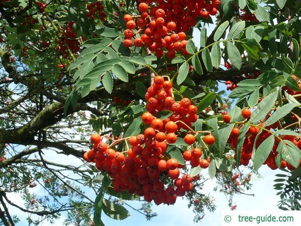 european Mountain ash (Sorbus aucuparia) fruits