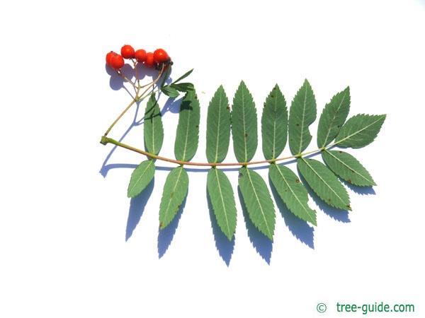 european Mountain ash (Sorbus aucuparia) leaf underside