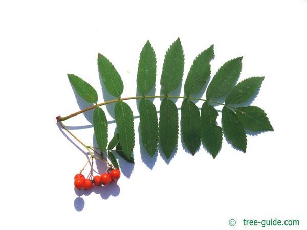 european Mountain ash (Sorbus aucuparia) leaf