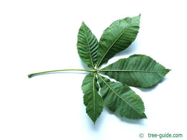 ruby horsechestnut (Aesculus carnea) leaf underside