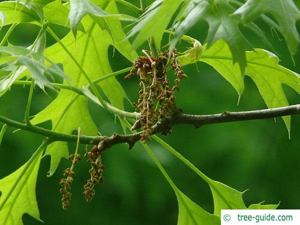scarlet oak (Quercus coccinea) flower