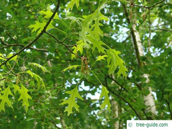 scarlet oak (Quercus coccinea) flowers