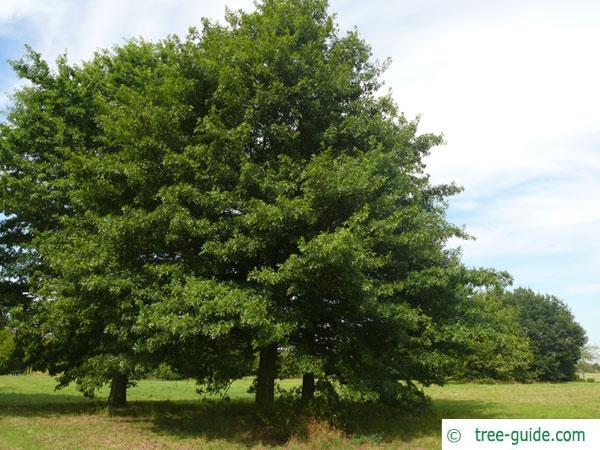scarlet oak (Quercus coccinea) tree in summer