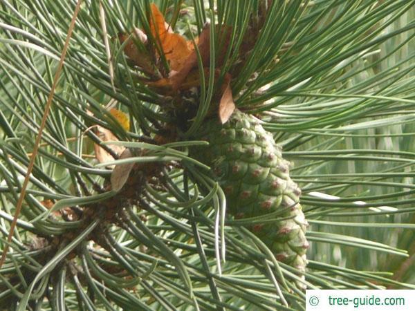 scotch pine (Pinus sylvestris) cone