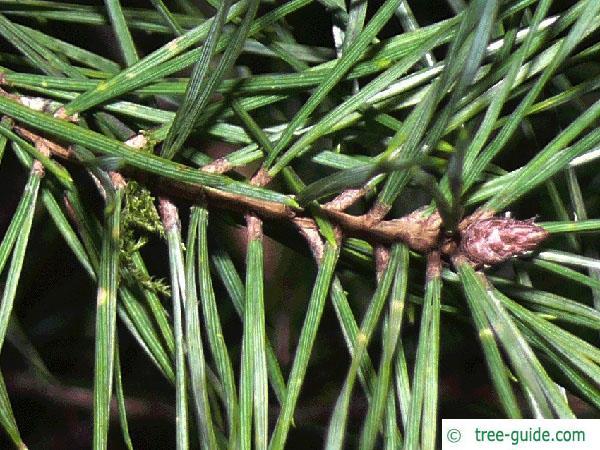 scotch pine (Pinus sylvestris) branch
